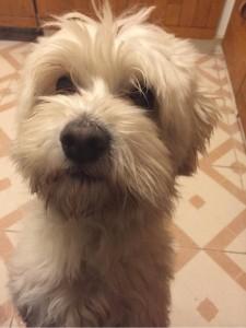 Én vagyok Baka Ferenc kutyája, Hori, a bichon havanese